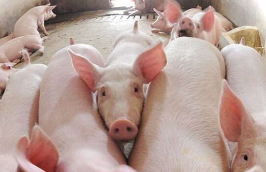 """生猪价格渐下""""猪峰"""" 企业扩产见效料在明年"""